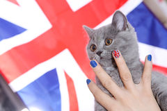 British Shorthairkitten and Union Jack flag Stock Images