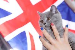 British Shorthairkitten and Union Jack flag. Girl holding a British Shorthair kitten in her hands, Union Jack polished nails, close-up view Stock Images