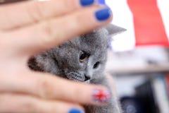 British Shorthairkitten and Union Jack flag. Girl holding a British Shorthair kitten in her hands, Union Jack polished nails, close-up view Stock Photos
