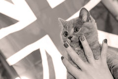 British Shorthairkitten and Union Jack flag Royalty Free Stock Photo