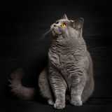 British shorthar sitting. Black background. Characteristic portrait of a cat Royalty Free Stock Photography