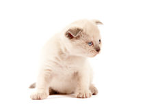 British shothair kitten Stock Images