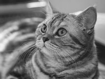 British Silver Tabby Cat. British Silver Tabby female cat Royalty Free Stock Photos