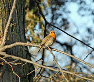 British singing robin in tree. Photo of a british robin bird singing whilst perched on tree branch Stock Image