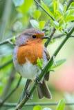 British Springtime robin. European robin Erithacus rubecula perched on a green leafy twig in Spring. Devon, UK, April Royalty Free Stock Photos
