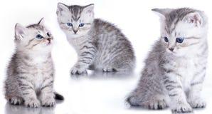 british stänger upp kattungepurebreden royaltyfri bild