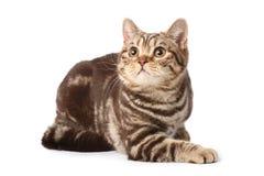 British tabby cat Royalty Free Stock Image