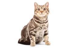 British tabby cat Royalty Free Stock Photos