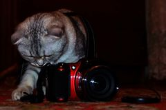 British tabby shorthair cat sets up the camera for shooting royalty free stock photo