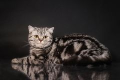 British tabby shorthair young cat with yellow eyes, britain kitten on black background Royalty Free Stock Photos