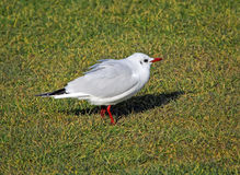 British tern bird Royalty Free Stock Photography