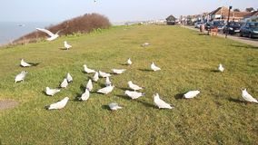 British terns and seagulls feeding stock video