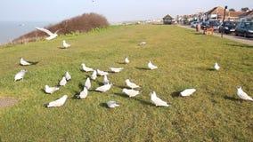 British terns and seagulls feeding stock video