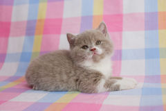 British two-tone kitten. British cute kitten, delicate look Royalty Free Stock Photo