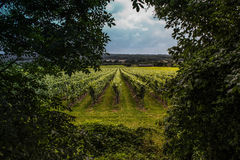 British Vineyards Surrey - Kent Royalty Free Stock Photo