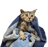 British wet kitten after the showe. British wet kitten  after a shower, wrapped in a towel Royalty Free Stock Photography