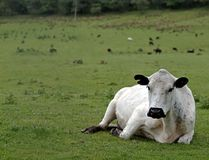 British White Beef Cow Royalty Free Stock Photography