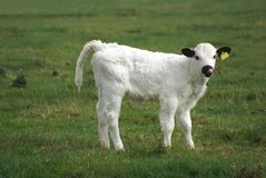 British white calf. British cattle baby animal in a farmland Stock Image