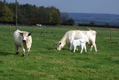 British white cattle of a bull, cow, & calf in a farmland Royalty Free Stock Images