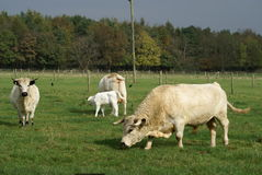British White Cattle Stock Photo