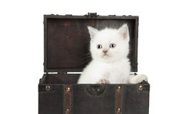 British white short-hair kitten Royalty Free Stock Images