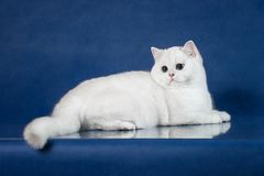 British white shorthair young cat with magic Blue eyes, britain kitten lying on blue background with reflection Stock Image