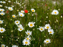 British Wildflowers near the Beach at Southwold Royalty Free Stock Photography