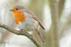 British winter robin in woods. Robin perched on diagonal branch in english woodland stock images