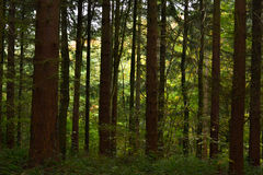 British Woodland. Trees in Bacton woods, Norfolk on autumn day Royalty Free Stock Photography