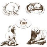 Briton lop-eared cat Stock Photo
