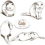 Briton lop-eared cat Stock Image
