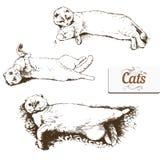 Briton lop-eared cat Stock Photos