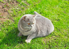 The Briton tender grey cat Stock Photography