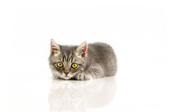 Brits geïsoleerd katje, grappig, wit, Royalty-vrije Stock Foto