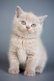 Brits katje stock foto