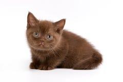 Brits katje Shorthair Royalty-vrije Stock Afbeeldingen
