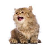 Brits Longhair omhooggaand en katje, 2 maanden oud die, zitting, kijkt mauwt Royalty-vrije Stock Afbeelding