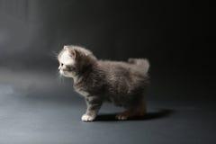 Brits Shorthair-babykatje royalty-vrije stock afbeeldingen