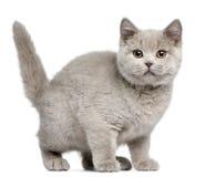 Brits Shorthair katje, 3 maanden oud Stock Afbeeldingen
