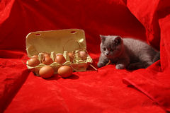Brits Shorthair-katje Royalty-vrije Stock Foto