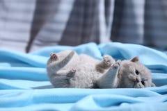 Brits Shorthair-katje die op achter, blauw blad, leuk gezicht liggen royalty-vrije stock afbeeldingen