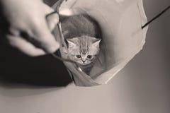 Brits Shorthair-katje in een zak Stock Foto