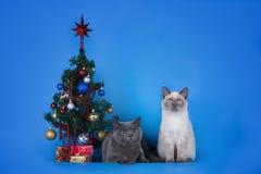 Brits Shorthair-kattenpaar met een Kerstboom op blauwe bedelaars Royalty-vrije Stock Afbeeldingen
