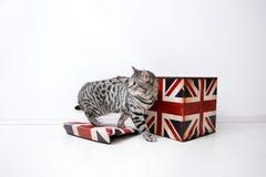 Brits Shorthair-mannetje Royalty-vrije Stock Foto
