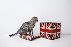 Brits Shorthair-mannetje Royalty-vrije Stock Afbeeldingen