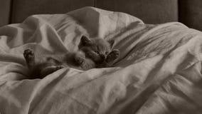 Britse blauwe het katjesslaap van Shorthair op bedbladen, poten omhoog stock videobeelden