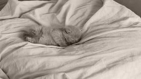 Britse blauwe het katjesslaap van Shorthair op bedbladen, poten omhoog stock video