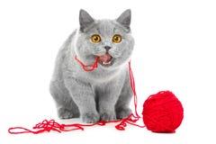 Britse blauwe kat die rode bal van draden kauwt Stock Afbeeldingen