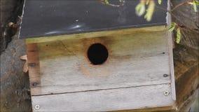 Britse blauwe meesvogel die het nestelen doos in boom voorbereiden om familie van kuikens op te heffen stock videobeelden