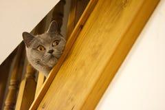 Britse Blauwe Shorthair Cat Looking Concerned door Trede Spind royalty-vrije stock fotografie